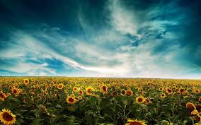 Sunflower Desktop Wallpapers ...