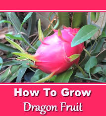 Dragon Fruit Plant  Nature  Pinterest  Dragon Fruit Plant How To Take Care Of Dragon Fruit Tree