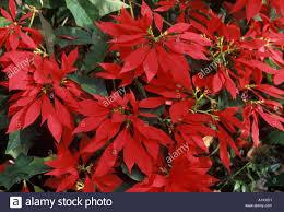 Weihnachtsstern Teneriffa Kanarische Inseln Spanien Europa