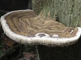 Resultado de imagem para foto de um cogumelo em tronco