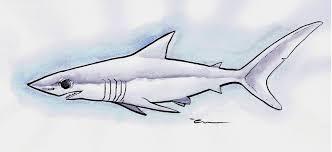 mako shark drawing.  Mako Shortfin Mako Shark By MathieuLarno On DeviantART On Drawing
