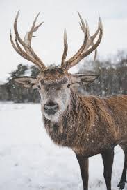 Fotos gratis : reno, vertebrado, mamífero, cuerno, ciervo, Barren ground  Caribou, fauna silvestre, alce, Fenómeno atmosférico, nieve, invierno,  hocico, cielo, congelación, parque Nacional, Venado de cola blanca, adular  4480x6720 - - 1553185 - Imagenes ...