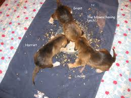 oh my gosh where is the time going puppies are 4 weeks old on 1 11 12 wow now they are eating real puppy food