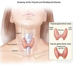 Thyroid Anatomy Figure Anatomy Of The Thyroid And Pdq Cancer