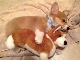 corgi puppy sleeping. Fine Sleeping Corgi Puppy Sleeping With His Toy Corgi On Puppy Sleeping I