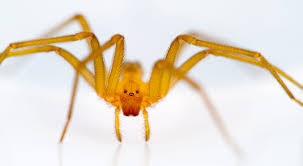Brown Recluse Or Not Brown Recluse Busting The Bite Myth Corkys