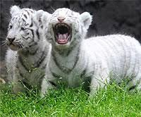 baby white tigers for sale. Brilliant Sale Intended Baby White Tigers For Sale
