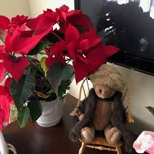and last but not all or least our friends in the next cup de sac delivered this poinsettia before still going strong and giving us color