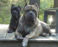 Cane Corso Ear Crop Chart Ear Cropping In Dogs Price