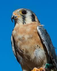 American Kestrel Falcon Hawk Aspen Willow Fine Art Photography Gallery Photography Animals Birds Fish Birds Hawks Falcons Artpal