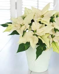 Weihnachtsstern Euphorbia Pulcherrima Pflanzen Blumen