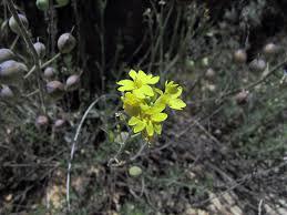 Alyssoides sinuata (L.) Medik