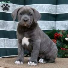 a cane corso puppy named carrie