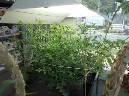 wild cherries tomatoes growing with our 400 watt induction grow light growlights at