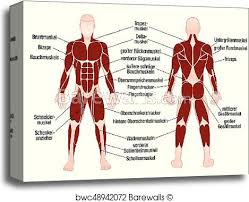 Musle Chart Muscle Chart With Most Important Muscles Of The
