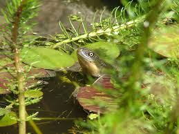 snake necked turtle in pond
