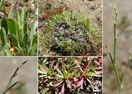 Limonium acutifolium (Rchb.) Salmon subsp. acutifolium - Portale ...
