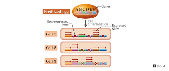 015094296 1 55cbf52606a199b007749fdd9591d0a7 as well Cell Differentiation  Learning Objectives  Describe the process furthermore Cell Differentiation  Learning Objectives  Describe the process additionally Chapter 13 packet also Cell differentiation   stem cell notes sheet by MrsFitz   TpT also Anatomy And Physiology Chapter 10 Blood Worksheet Answers likewise Specialised Cells ppt and differentiated activity by seasquirt together with Biology 2016 17   Mrs  Sheets' CAHS Sciences besides Cell Processes and Energy   Reading Notetaking Guide   Cell also WORKSHEET PLANT HORMONES 1 1 Various possible options are moreover . on 10 4 cell differentiation worksheet answers