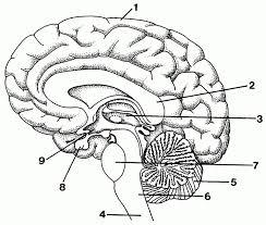 Hermosa the brain diagram labeled modelo anatomía de las