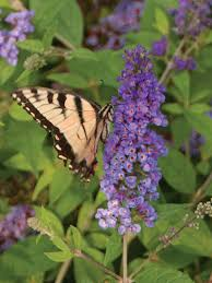 Flowering Plants That Attract Butterflies