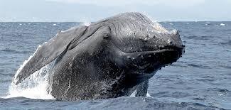 Résultats de recherche d'images pour «baleines»