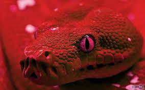 red snake skin wallpaper. Brilliant Red Wallpapers Of Snake To Red Skin Wallpaper K