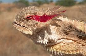Phrynosoma Cornutum, Kadal Yang Bisa 'Menembak' Darah Dari Matanya