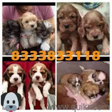we provide all types of original quality puppies in hyderabad