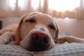 Dog Sleep Pattern Interesting 48 Ways To Supercharge Productivity With Better Sleep