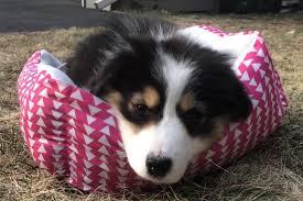Pet adoptions soar during COVID-19 Quarantine – Wayland Student Press