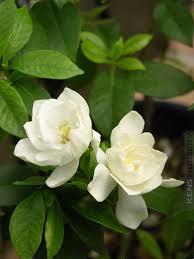 fragrant gardenia august beauty gar aub