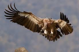 Resultado de imagen para buitres volando en circulos