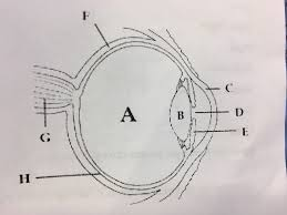 Order In Which Light Passes Through The Eye Quizlet Unit 2 Test Human Body System Diagram Quizlet