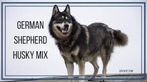 Wolf Vs Dog Size Chart German Shepherd Husky Mix The True Alpha Certapet