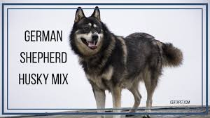 german shepherd husky mix the true alpha
