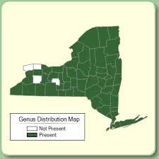 Oxalis - Genus Page - NYFA: New York Flora Atlas - NYFA: New ...