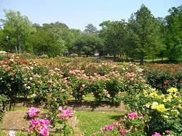rose bushes and trees tyler texas by gurdonark