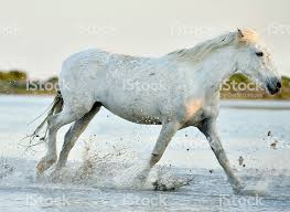 white horses running in water. Perfect Water White Horse Running Through Water Royaltyfree Stock Photo Intended Horses Running In Water R