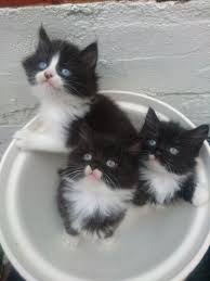 black and white kittens for sale. Interesting Black BLACK U0026 WHITE KITTENS FOR SALE FLUFFY AND PETITEGORGEOUS 65 READY Inside Black And White Kittens For Sale A