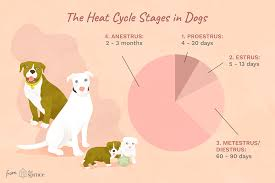 Canine Ovulation Chart Length Of The Heat Cycle In Dogs
