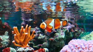 The Definitive Clownfish Care Guide Is Nemo The Fish For