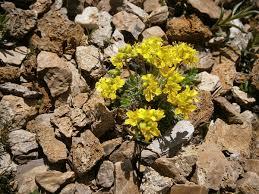 Hoppe-Felsenblümchen – Wikipedia