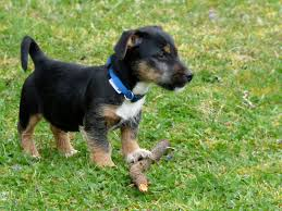 garden animals. Play Puppy Dog Mammal Garden Animals Vertebrate Breed Terrier Stick Jack Russell Patterdale