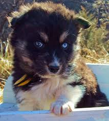 the husky mix adoptable puppies pictures 529118