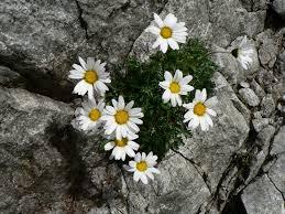 Leucanthemopsis alpina - Wikipedia