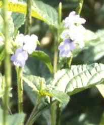 hummingbird remes flower essences jkl
