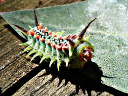 Australian Caterpillar Identification Chart Caterpillars A Look At Nature
