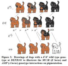 Dog Color Genetics Chart The Complexity Of Coat Color The Institute Of Canine Biology