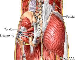Resultado de imagen de fascia muscular