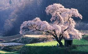 Japanischen Landschaft Die Kirschblüte 1920x1200 Hd